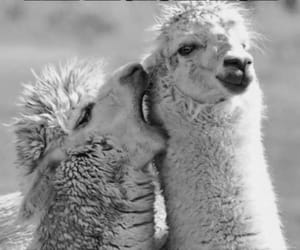 funny and llama image