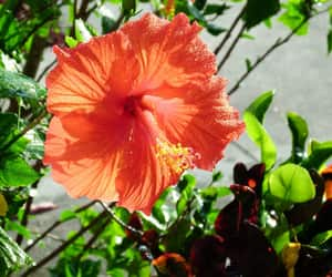 flower, hibiscus, and red flower image