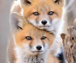 animal, fox, and wild image