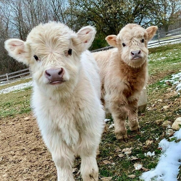 Fluffy Young Cows Https Johnnyslittleanimalblog Tumblr Com Post 182298723625 Much Fluff Very Cute Discovered By Amelieath1
