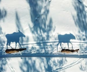 aerial view, animals, and moose image
