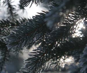 nature, winter, and spruce image
