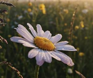 flover, ромашка, and цветок image