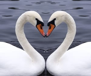 theme, Swan, and rp image