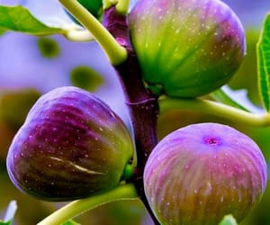 fig and fruit image