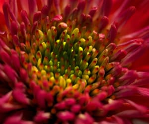 flowers, macro, and red image