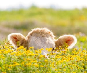 animals, cows, and nature image