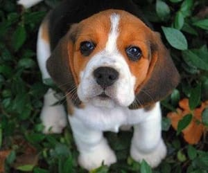 beagle, portrait, and dogs image