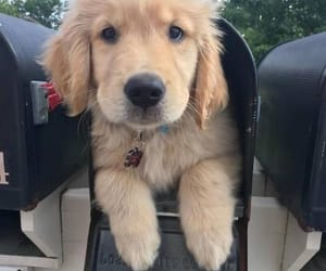 beautiful, funny, and golden retriever image