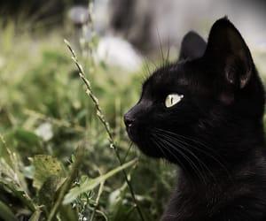 cat, black cat, and animal image
