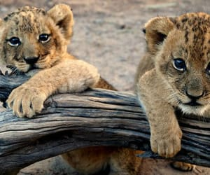 cubs, cute, and lion image