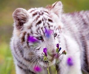 albino, Animales, and tigre image