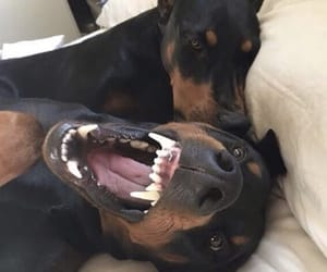 dog and doberman image