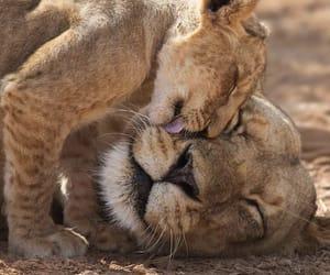 animal, lion, and love image
