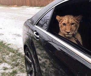 animal, car, and lion image