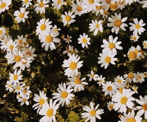 background, beautiful, and daisy image