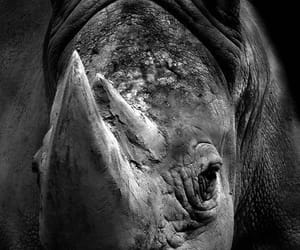 horn and rhino image