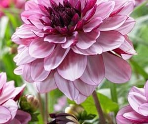 pink, flovers, and flower image