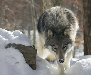 wolf, wolves, and animals image
