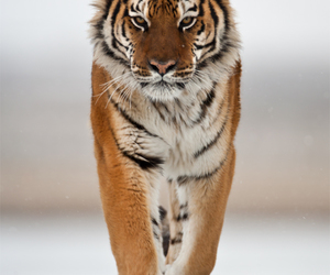 photography and tiger image