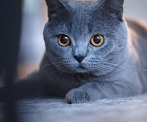 animals, cats, and grey cat image