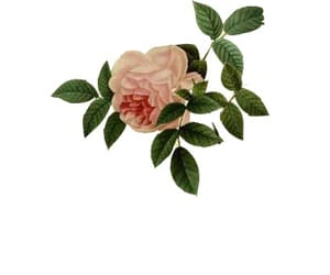 flower, overlay, and png image