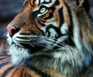 Animales, feline, and tiger image