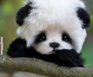 Animales, panda, and oso panda image