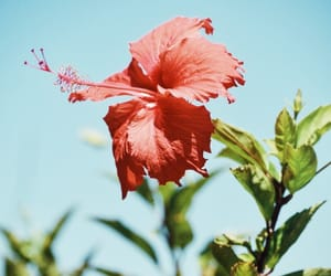 flowers, hibiscus, and tropical image