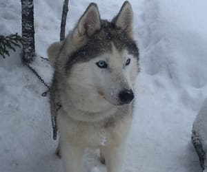 cold, siberian husky, and blue eyed dog image
