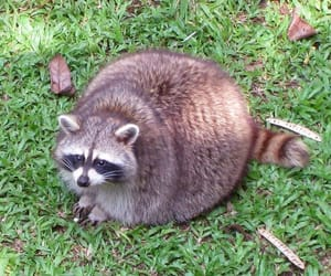 raccoon, animal, and fat image