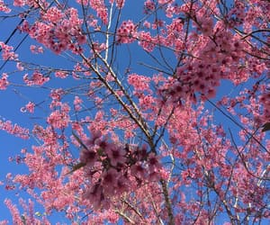 blossom, blue, and cherry blossom image