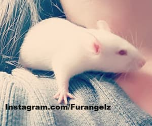 rat, instagram, and furry image