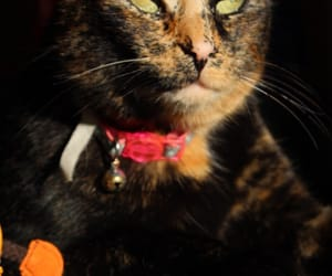 brown, tortoiseshell, and cat image