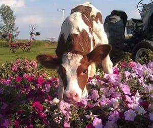 cow, animal, and soft image