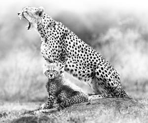 photography, animals, and black and white image