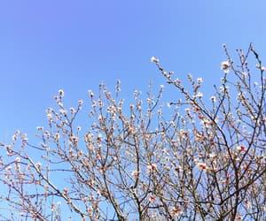 blossom, blue sky, and cherry blossom image