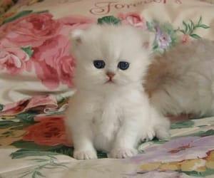 animals, white, and cat image