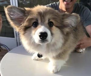 adorable, corgi, and fluffy image