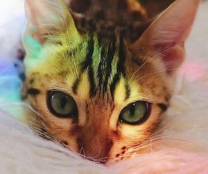 animal, cat, and rainbow image
