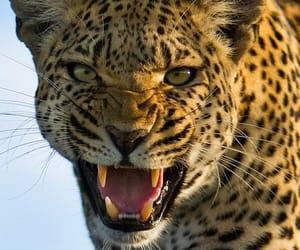 Animales, leopardo, and felino image