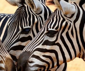 animals, zebras, and nature image