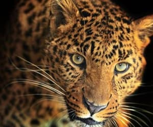 animals, eyes, and wild image