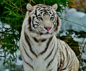 animal, nature, and tiger image
