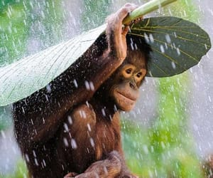 monkey, animals, and rain image