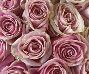 pink roses image