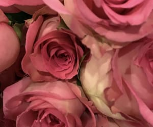 pink roses, roses, and beautiful roses image