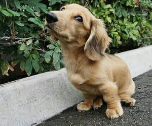 animals, daschund, and dog image