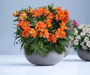 flowers, alstroemeria, and alstroemeria plants image