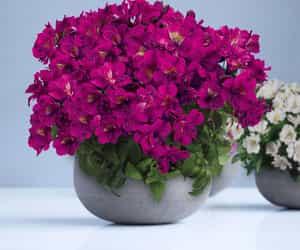 online nursery, flowers, and alstroemeria image